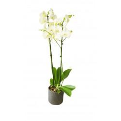 ORCHIDEE PHALENOPSIS 70/80 CM