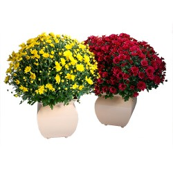 LOT DE CHRYSANTHEMES MULTI TETES