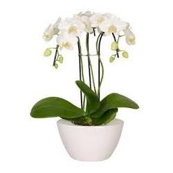ORCHIDEE TRIPLE CASCADES