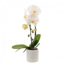 ORCHIDEE PHALENOPSIS CASCADE