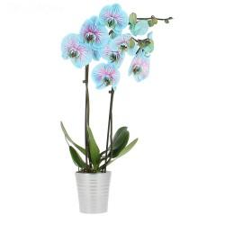 ORCHIDEE PHALAENOPSIS BLUE