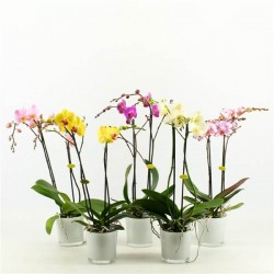 ORCHIDEE PHALENOPSIS 2 TIGES