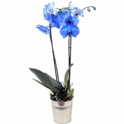 ORCHIDEE BLUE