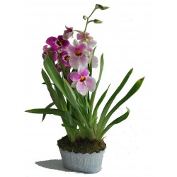 ORCHIDEE MILTONIA COUPE