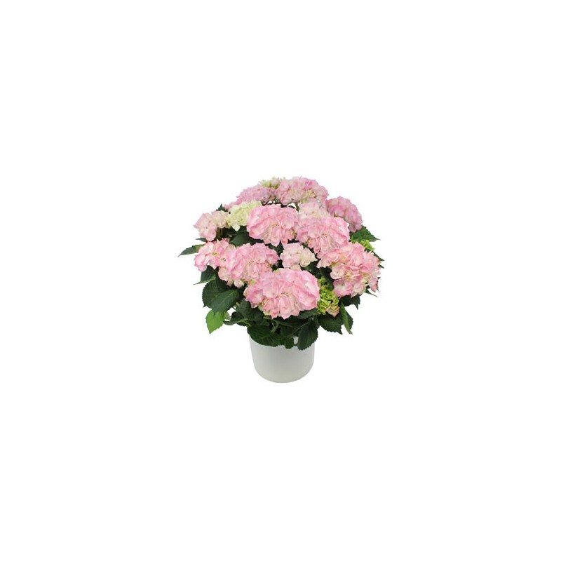 Romy plantes et arbustes hibiscus fleurs for Plantes et arbustes