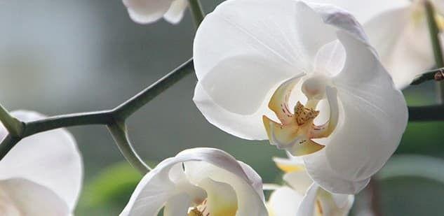 Commandez votre orchidée